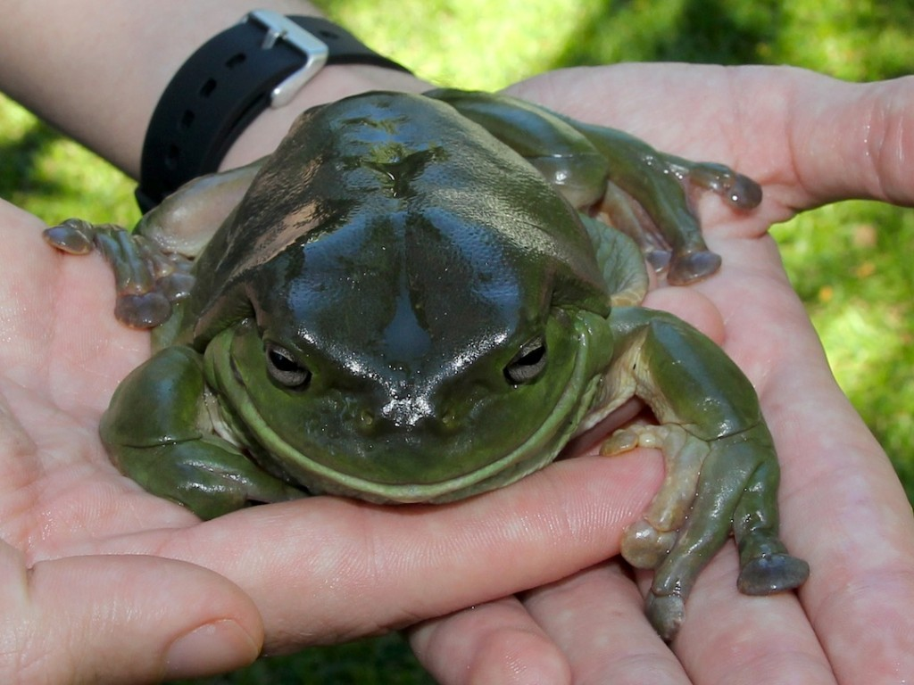 close-up of large frog