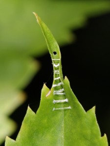The caterpillar's retreat: the sides of the leaf are pulled together with silk, and there is a caterpillar-sized hole at the upper end