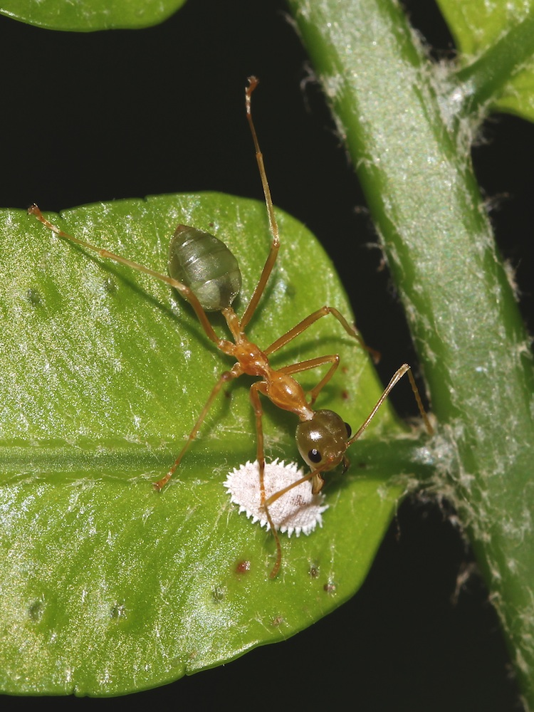 Green-ant tending a lone mealybug on a fern frond