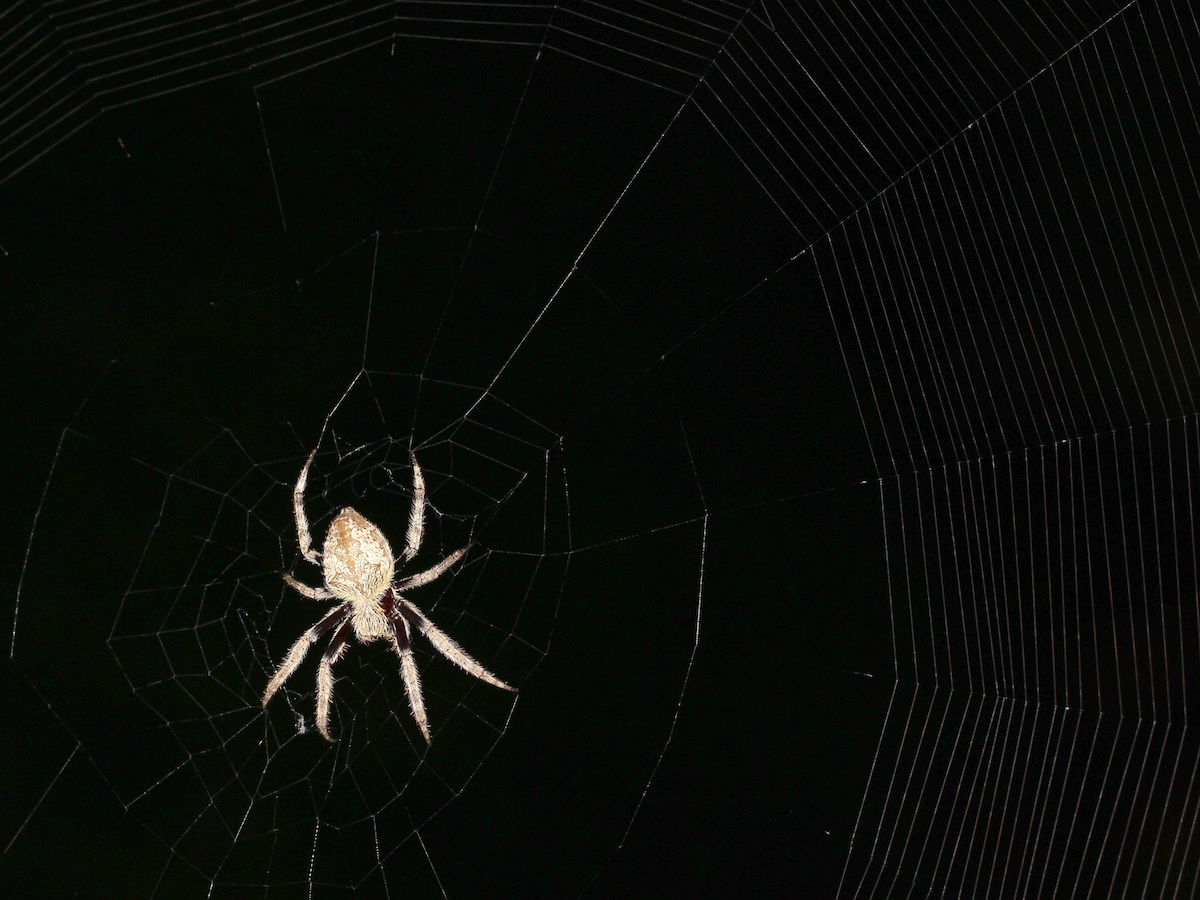 brown spider in web