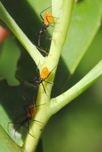 orange-black bugs on twig