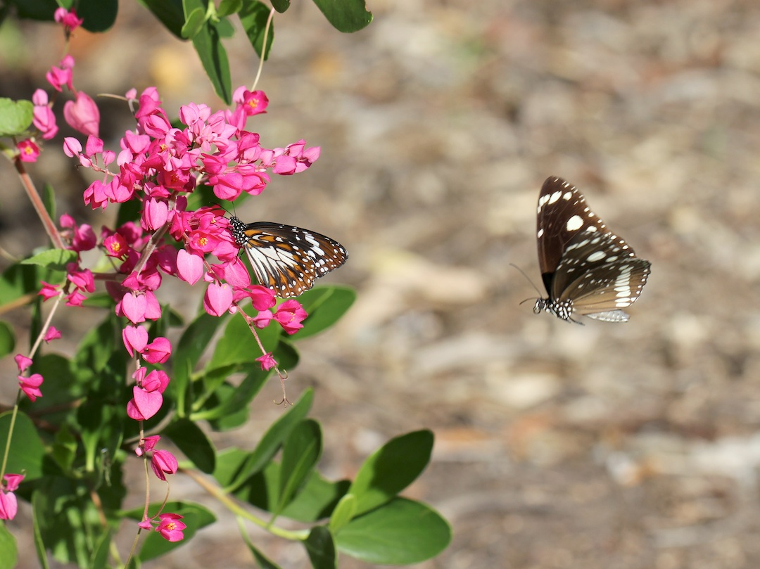 black butterfly attacking a black and white one on a pink-flowering creeper