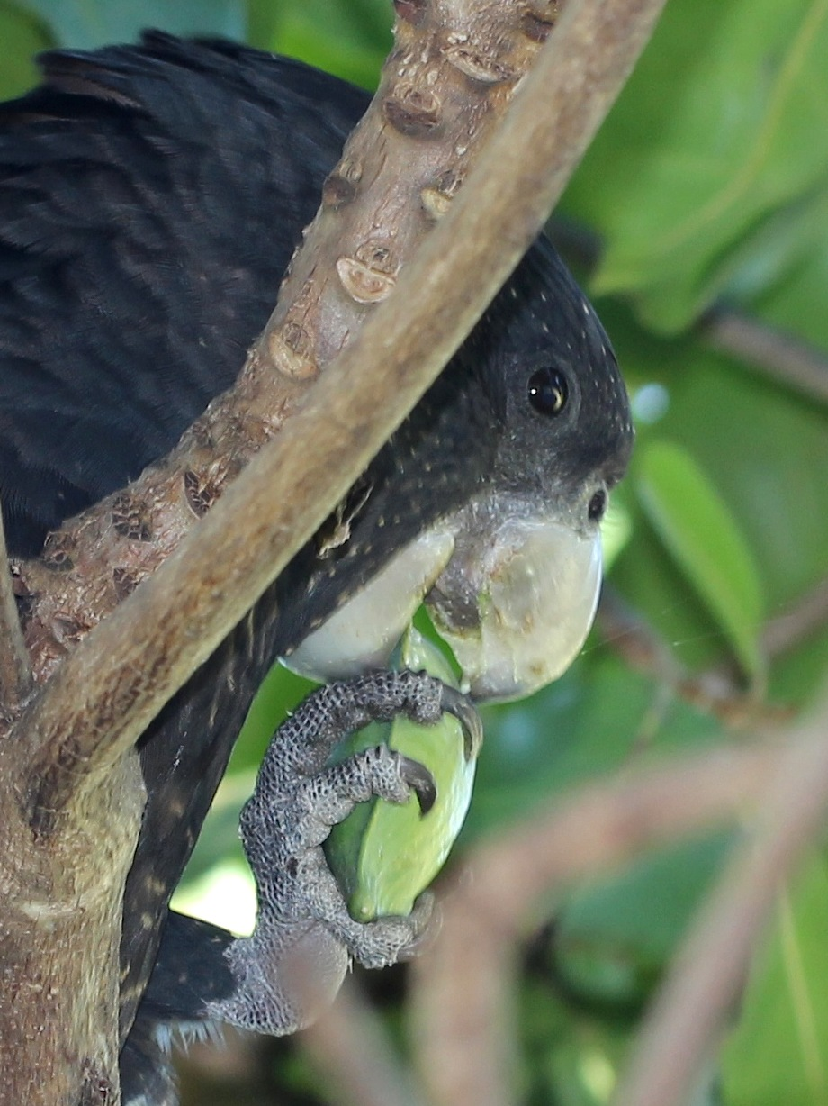 close-up of bird head with fruit