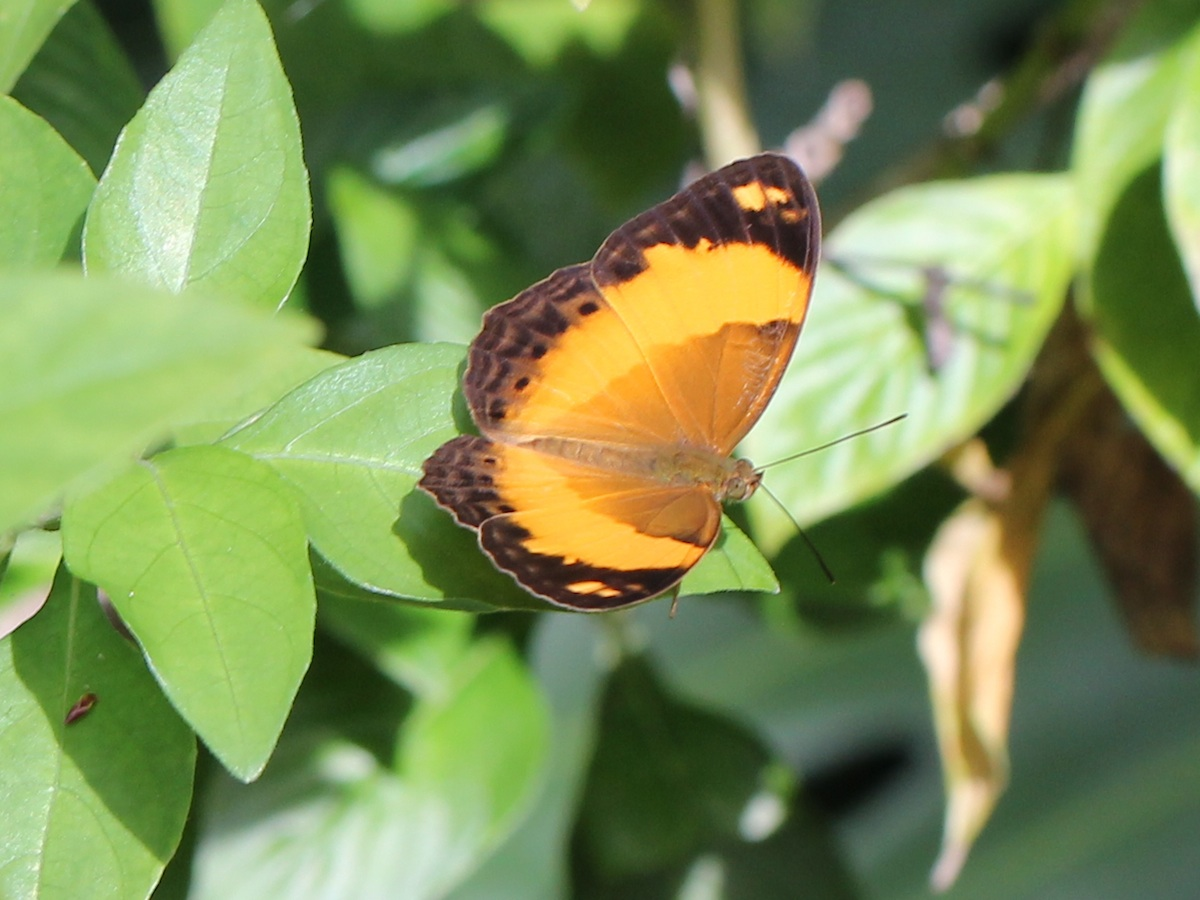 orange and brown butterfly