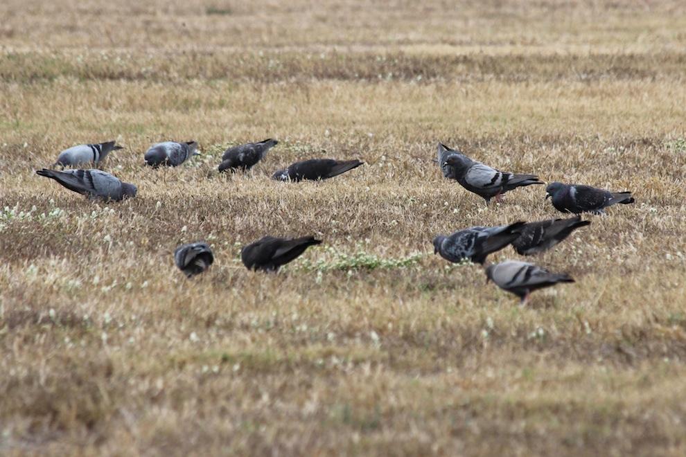 Pigeons in grassland