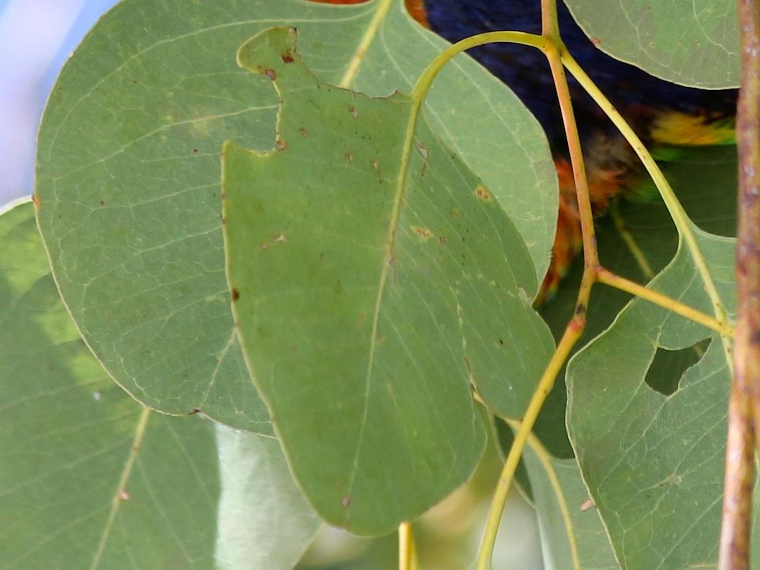 leaf minus insect