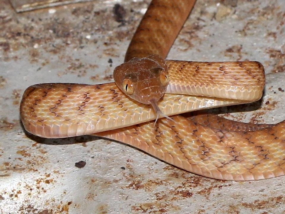 Brown tree snake head