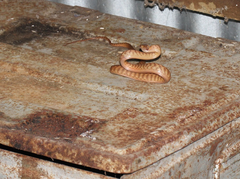 Brown tree snake in s-bend