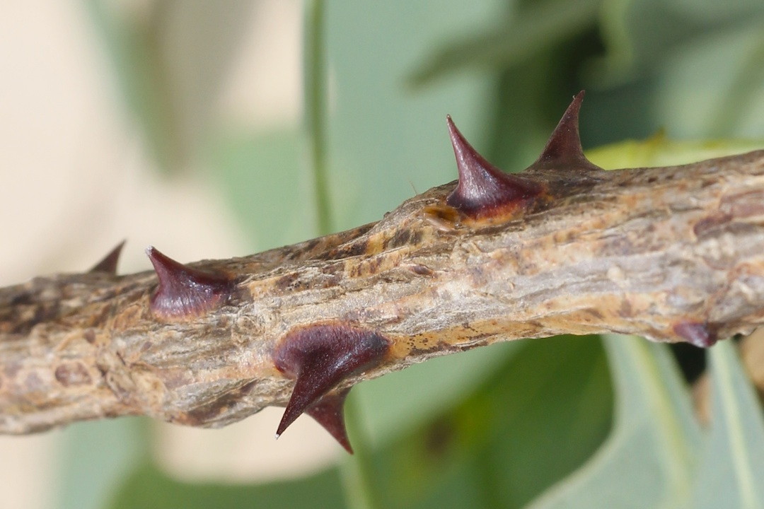 branch with thorns