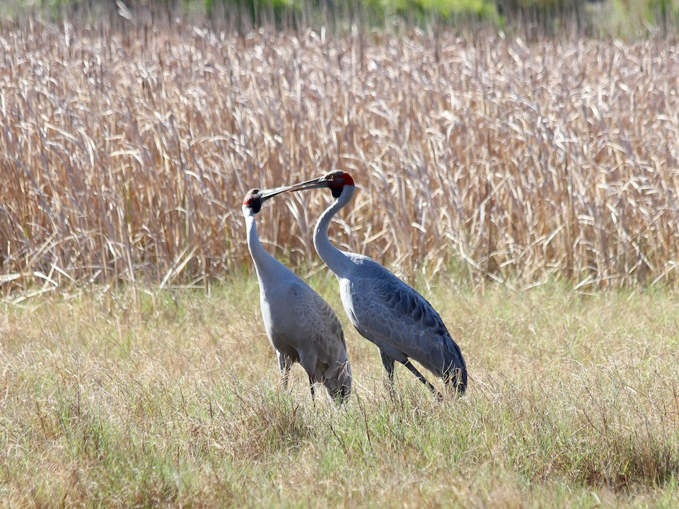 brolgas touching beaks