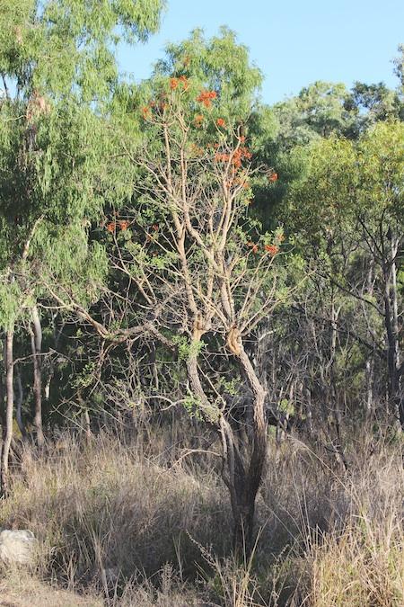 leafless flowering tree