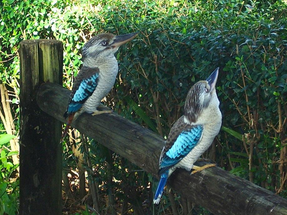 kookaburras on park railing