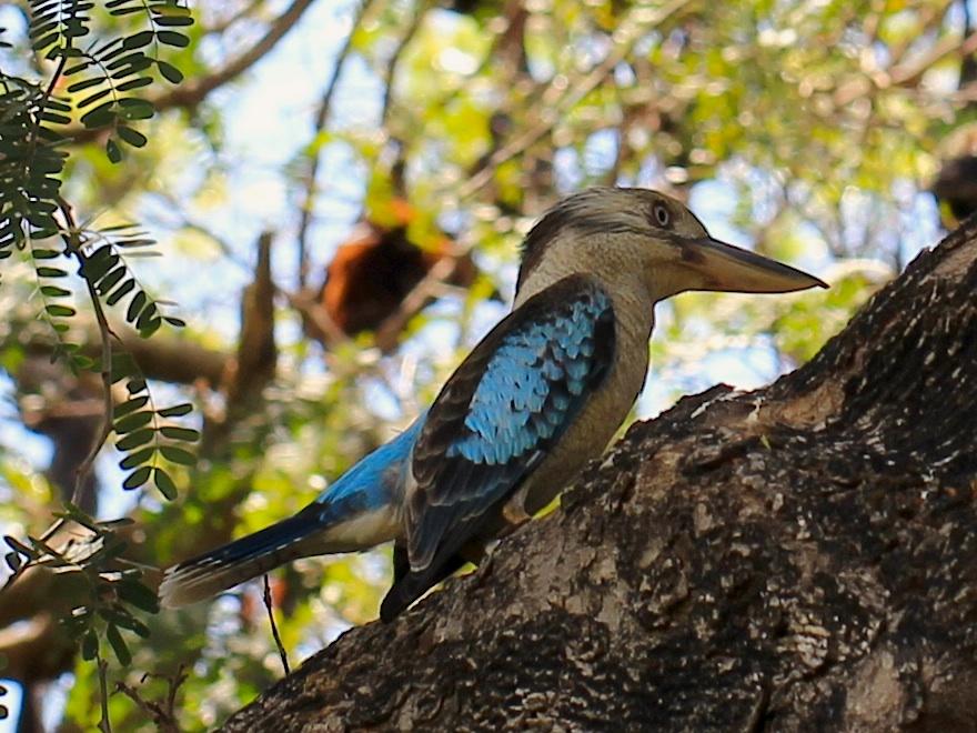 Blue-winged Kookaburra on banch
