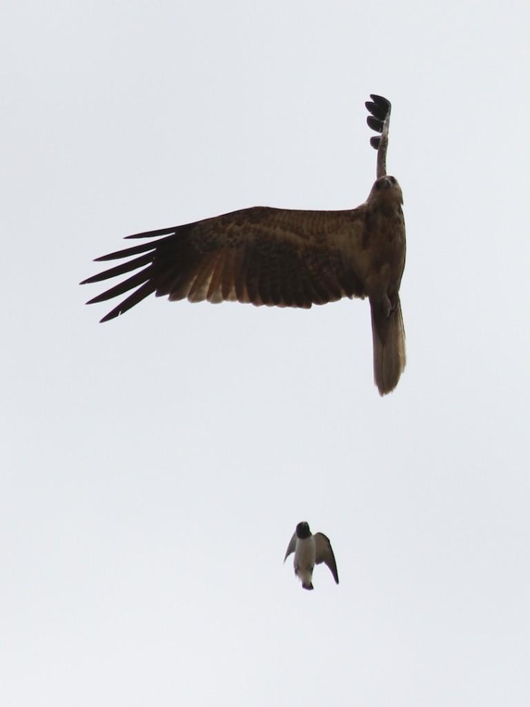 tiny bird pursuing larger one