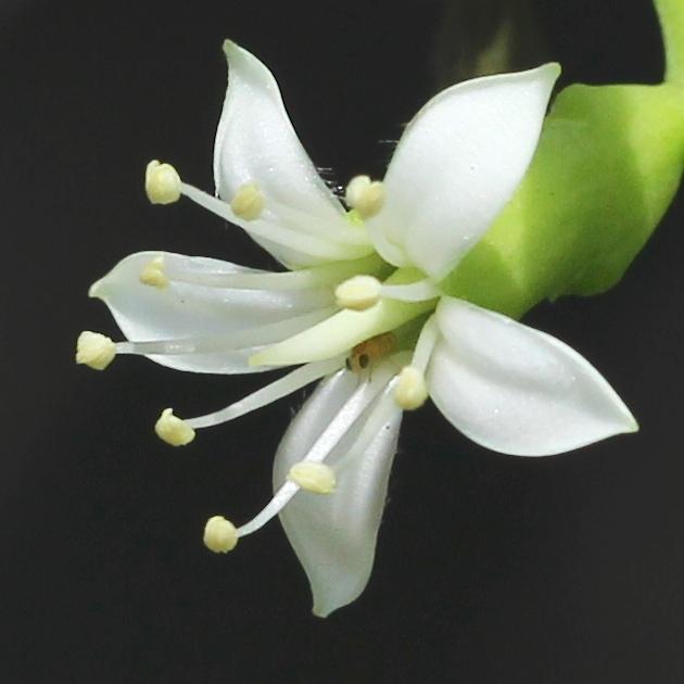 star-like white flower