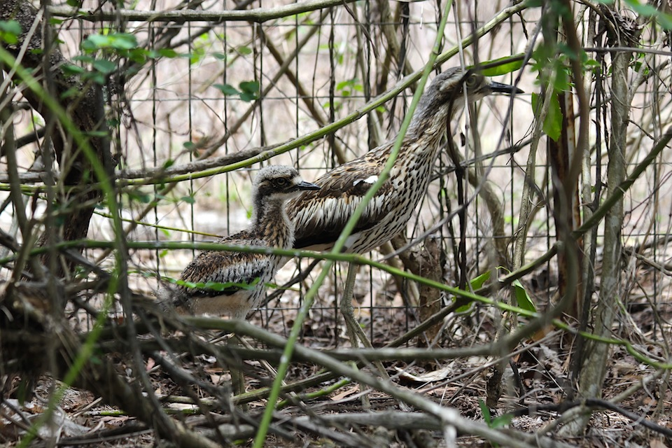 Bush Stone-curlews amongst vines