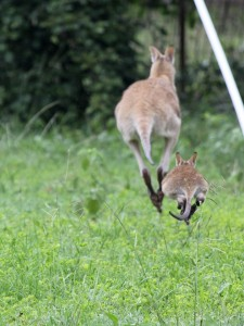 wallaby mother and joey hop away