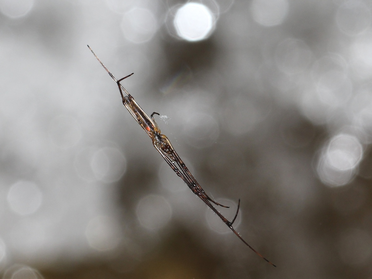 A slender spider, Tetragnathidae, suspended above rushing water