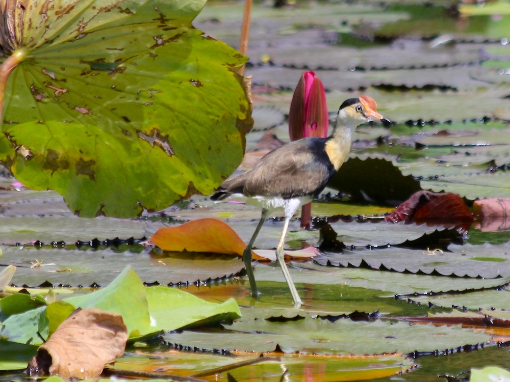 Comb-crested Jacana on lily pads