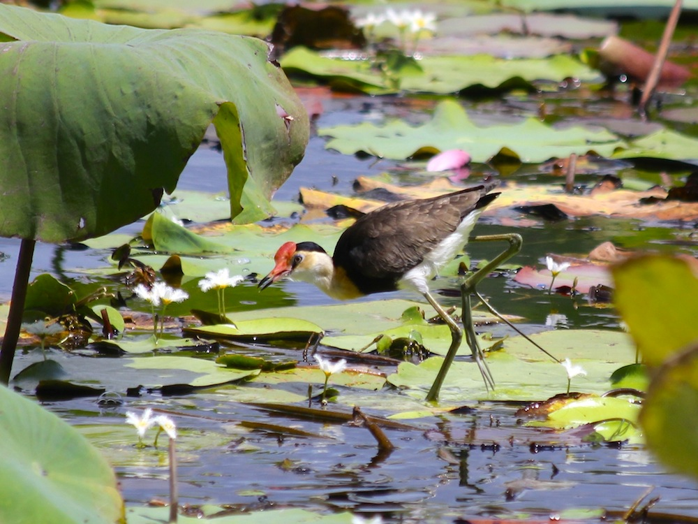 Jacana showing the extraordinary toes