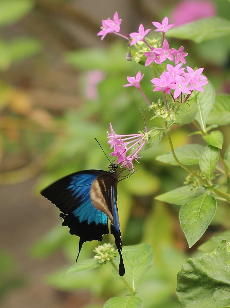 Ulysses Swallowtail feeding on Pentas