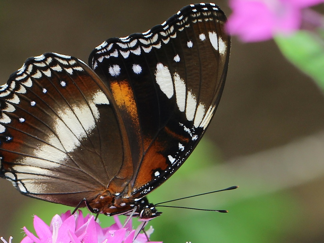 close-up of brown and white butterfly