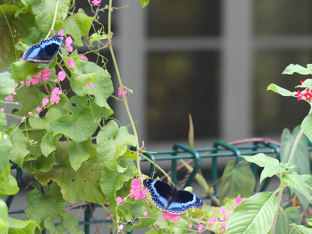 Two male Blue-banded Eggfly