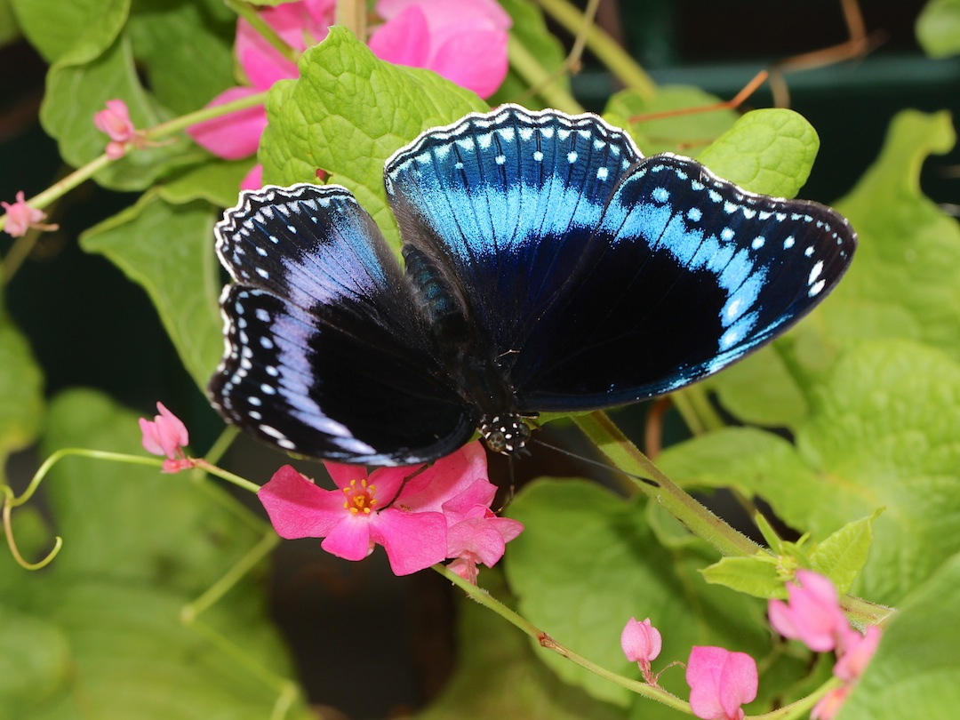dark butterfly with blue bands around the wings