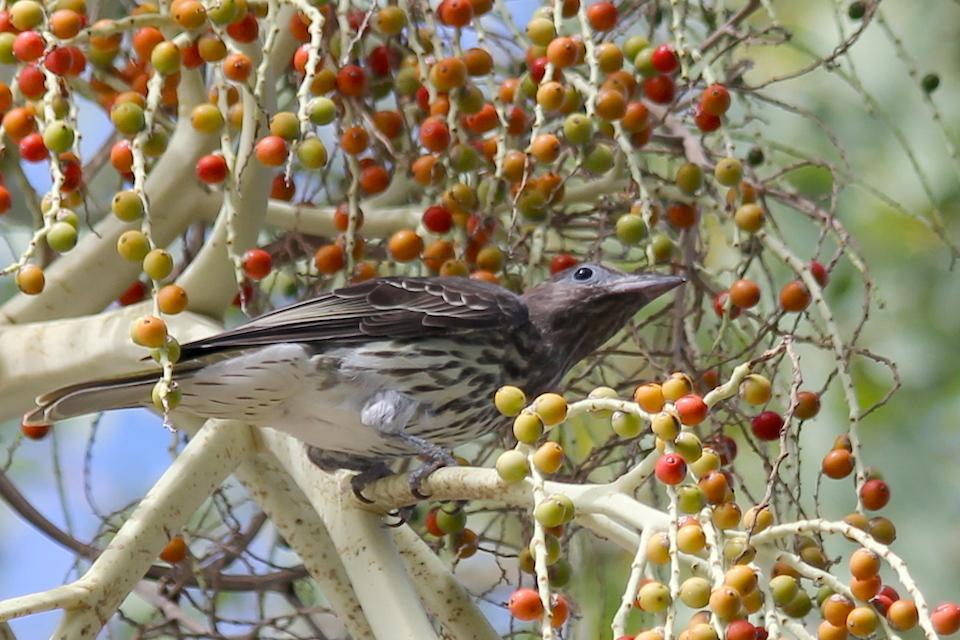 speckled bird in palm