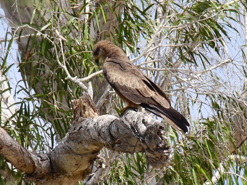 brown hawk in tree