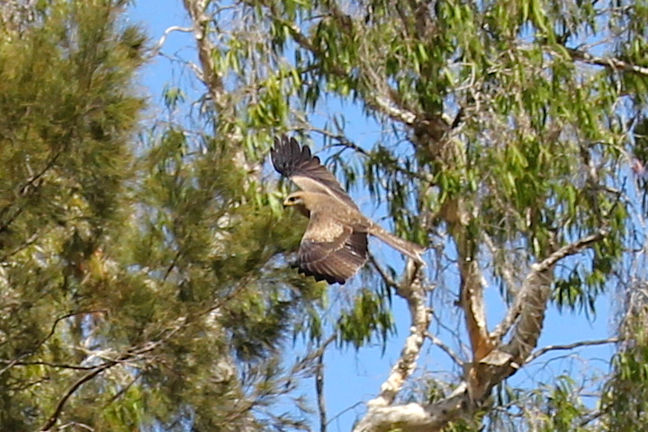 hawk flying from tree
