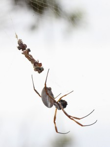 fat grey spider in web