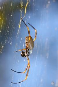fat grey-brown spider
