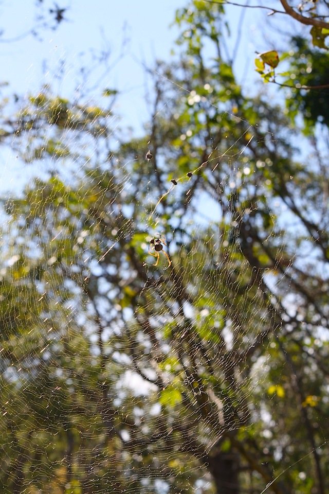 spider in golden web