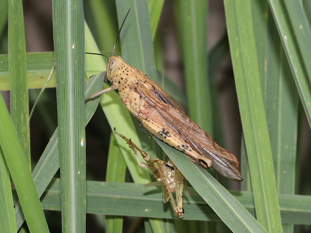 grasshopper with shed skin