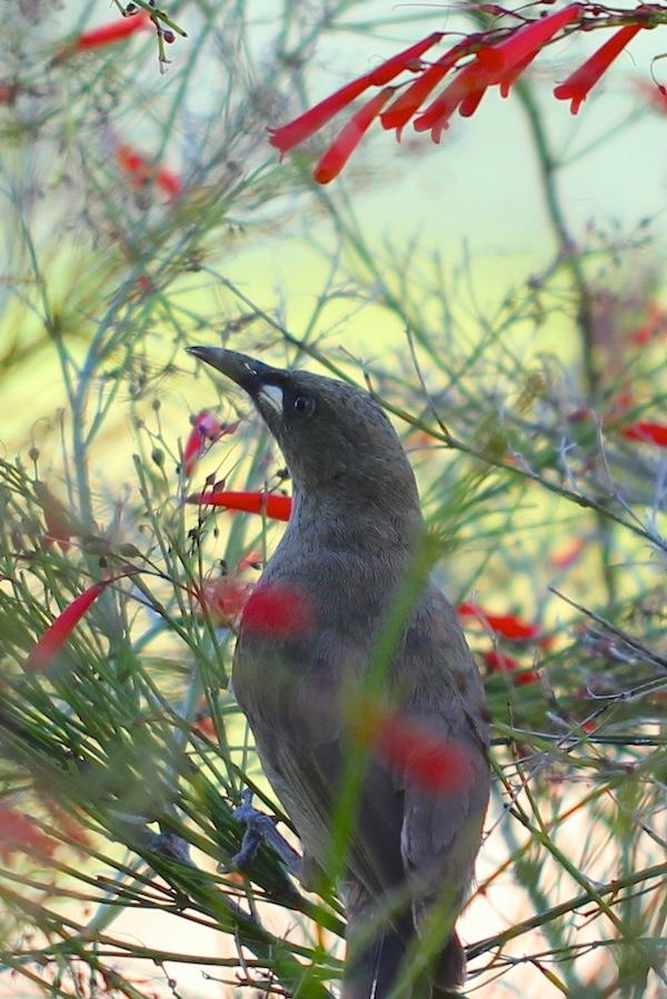 brown bird in red-flowering shrub