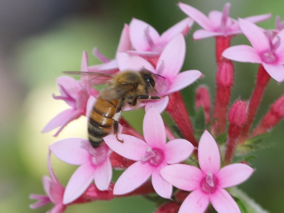 Honey-bee on pentas flower
