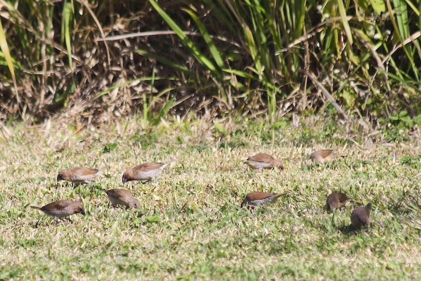 brown birds feeding on grass