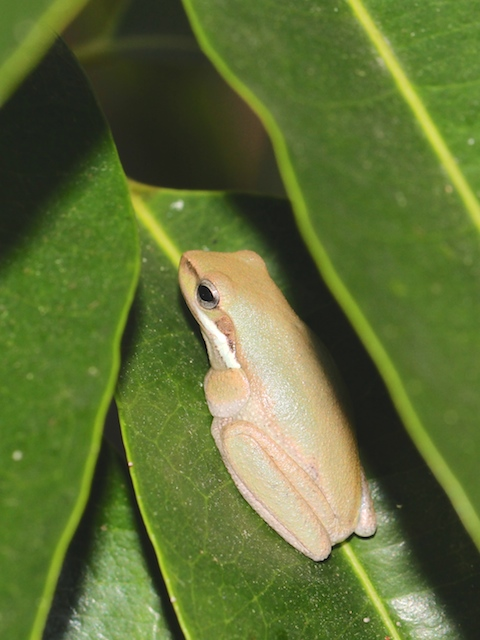 golden-green Eastern Dwarf Tree Frog amongst leaves