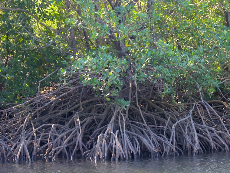 mangroves with stilt roots in water