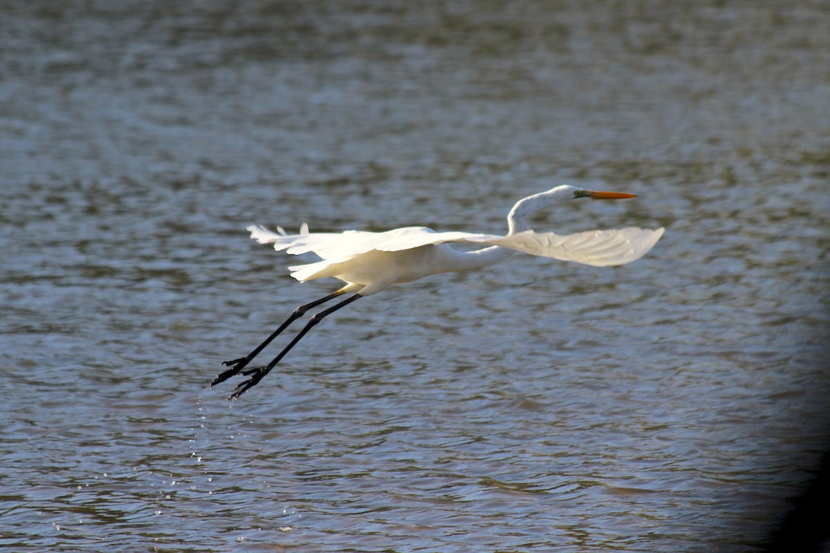 Great Egret taking to the air