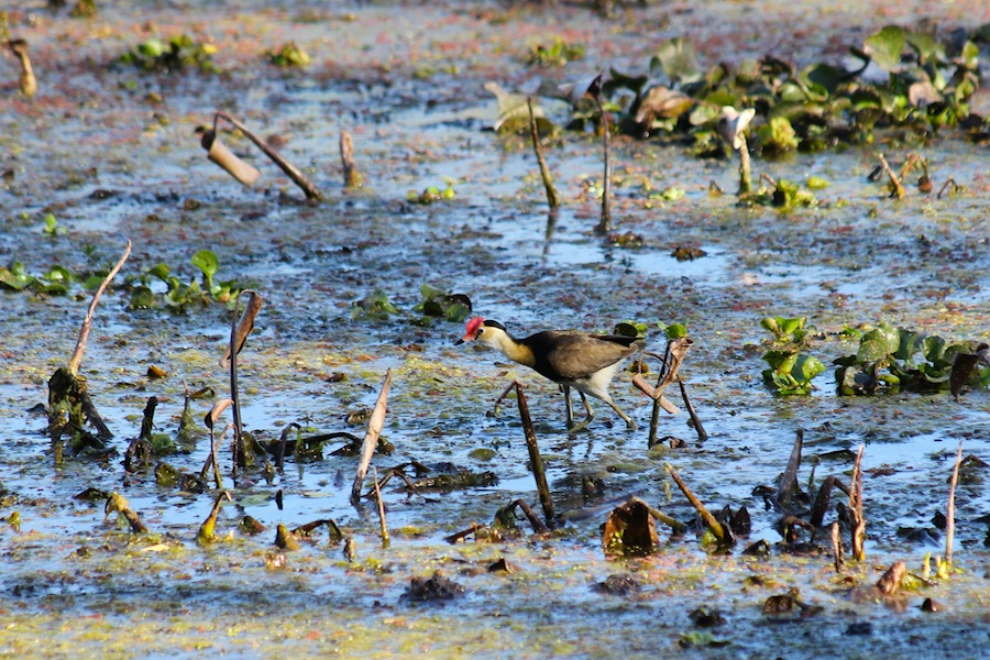 small brown bird on weedy lagoon