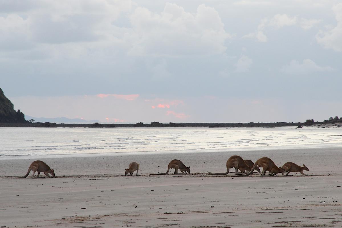 wallabies on flat beach