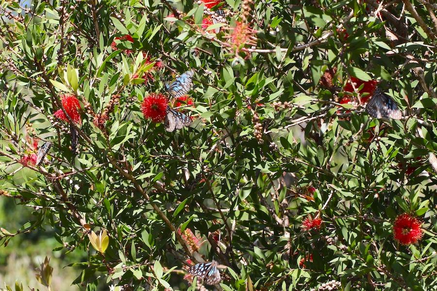blue butterflies on red flowers