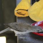 grey bird at picnic table
