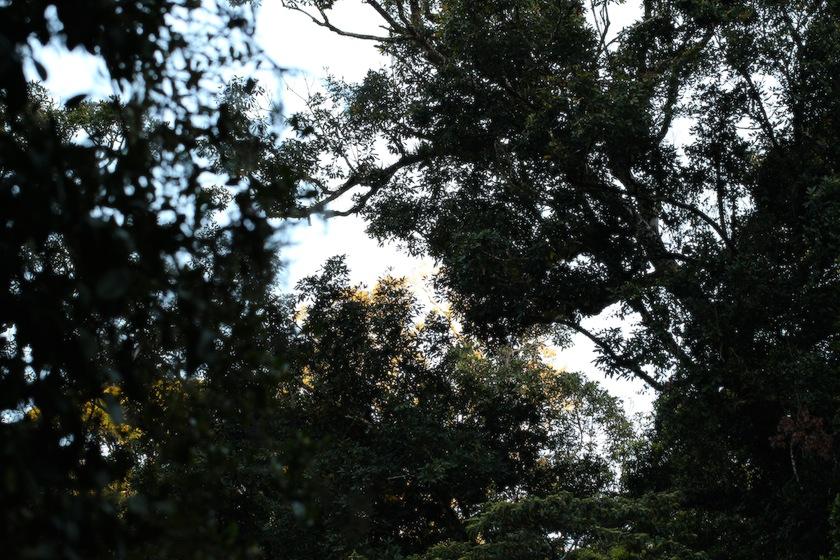 trees, dark against dawn sky