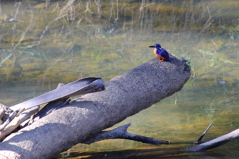 blue and buff bird on log in river