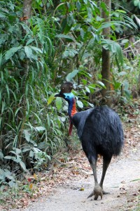 rear view of cassowary