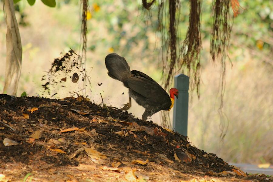 black bird kicking leaves higher on the mound