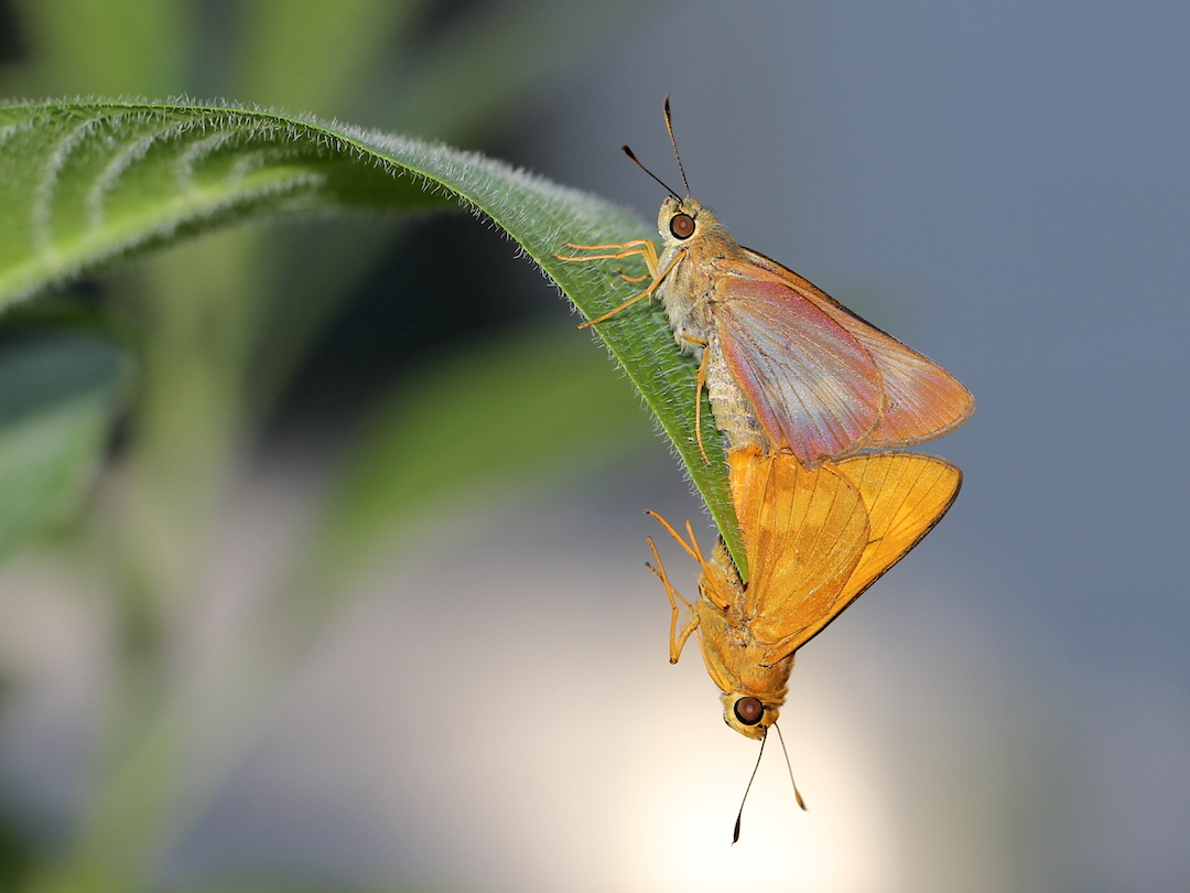 orange and brownish butterflies